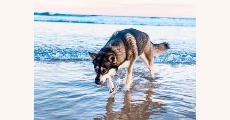 Photo of Ruski, a Siberian Husky and German Shepherd Dog mix in Australia