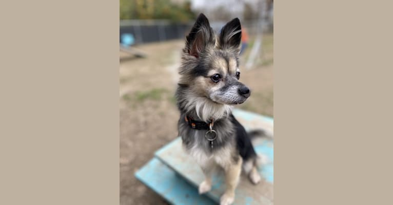 Photo of Pita, a Chihuahua, Pomeranian, Shih Tzu, and Mixed mix in Los Angeles, California, USA