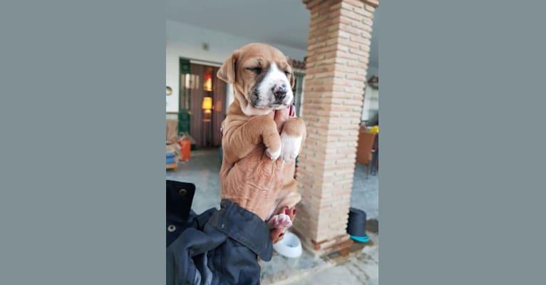 Photo of Dumle, an European Village Dog mix in Málaga, Andalucía, Spania