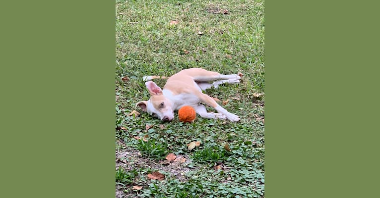 Photo of Miah, an American Pit Bull Terrier  in Palmetto, Florida, USA