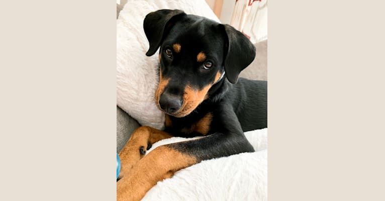 Photo of Lucy, a Rottweiler, Labrador Retriever, and American Staffordshire Terrier mix in Kinston, North Carolina, USA