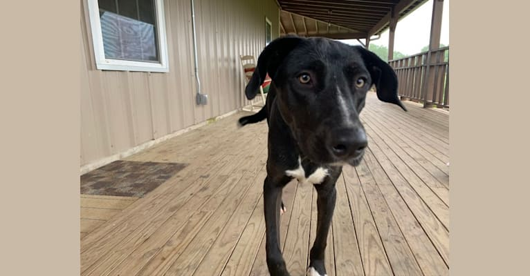 Photo of Fitz, an American Pit Bull Terrier, Rat Terrier, and Labrador Retriever mix in Elgin, Texas, USA