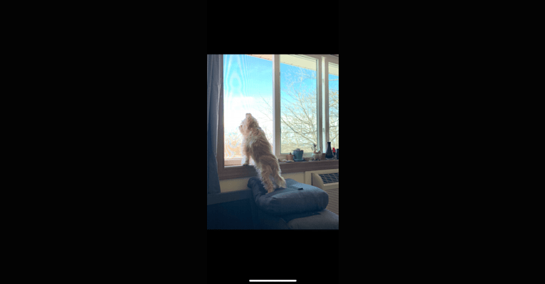 Photo of Bean, a Yorkshire Terrier, Bichon Frise, and Pekingese mix in Marquette, Michigan, USA