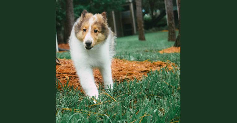 Photo of Nyx Rossie, a Collie  in Michigan, USA