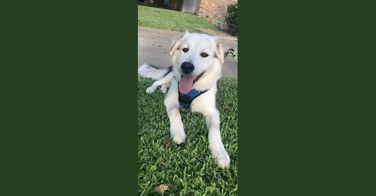 Photo of Bandit, a Siberian Husky, American Pit Bull Terrier, German Shepherd Dog, and Mixed mix in Dallas, Texas, USA