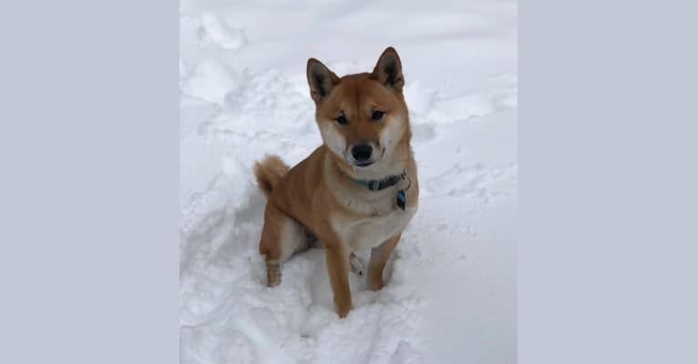Photo of Ricky, a Shiba Inu  in West Point, Iowa, USA