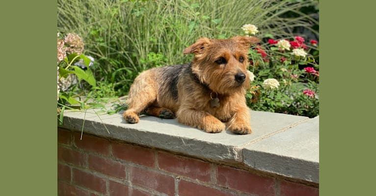 Photo of Lewy, a Norfolk Terrier  in Lakeland, FL, USA