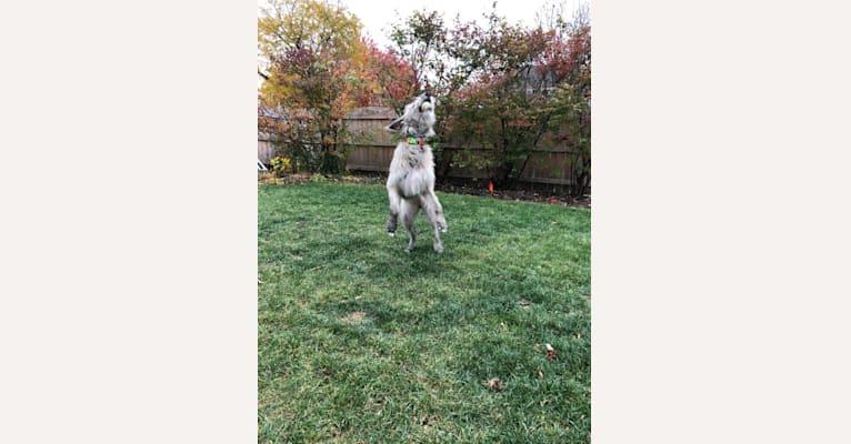 Photo of Beatrice, an Irish Wolfhound  in Arkansas, USA