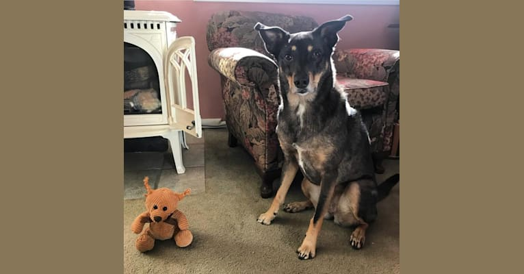 Photo of LOLA, an Australian Shepherd, Australian Cattle Dog, Chow Chow, American Pit Bull Terrier, and Mixed mix in Charleston, West Virginia, USA