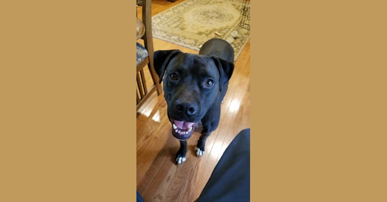 Photo of Jackson, a Boxer, American Pit Bull Terrier, and American Staffordshire Terrier mix in San Antonio, Texas, USA
