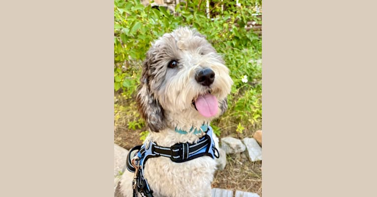 Photo of Zoey, a Poodle (Small), Poodle (Standard), and Old English Sheepdog mix in Salt Lake City, UT, USA