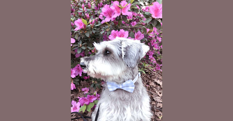 Photo of Lanier, a Miniature Schnauzer  in Richmond Hill, Georgia, USA