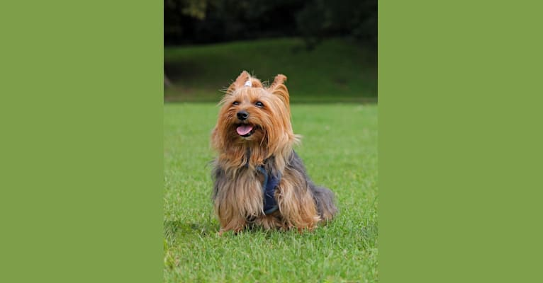 Photo of Pepper, a Yorkshire Terrier  in London, England, United Kingdom
