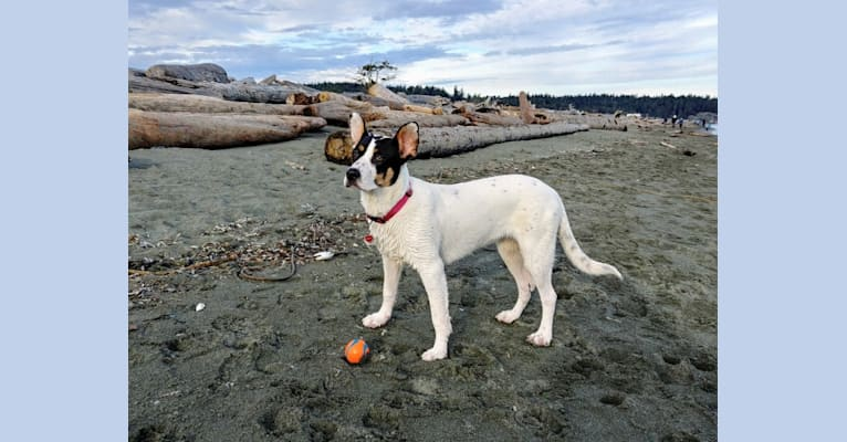 Photo of Bandit, an American Pit Bull Terrier, German Shepherd Dog, Rottweiler, and Mixed mix in Victoria, British Columbia, Canada