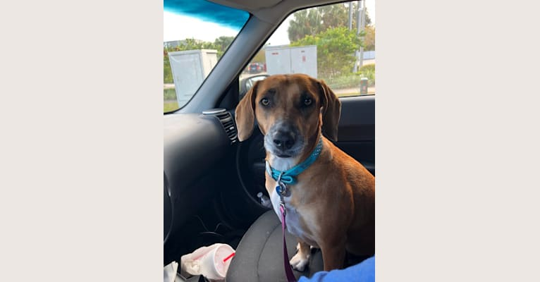 Photo of Sophie, an American Pit Bull Terrier, American Foxhound, Beagle, and American Staffordshire Terrier mix in Tarpon Springs, Florida, USA