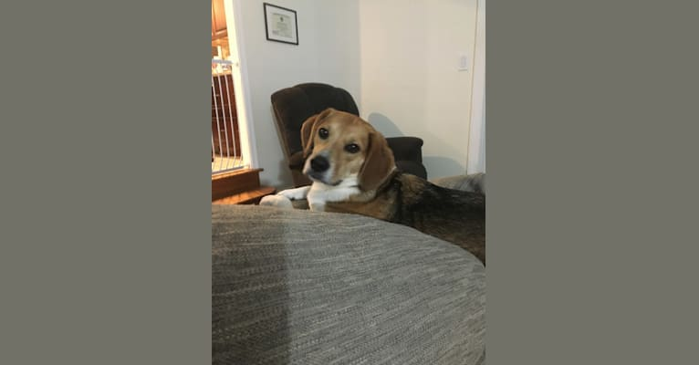 Photo of Charlee, a Beagle, American Pit Bull Terrier, and Mixed mix in Wilmington, Delaware, USA