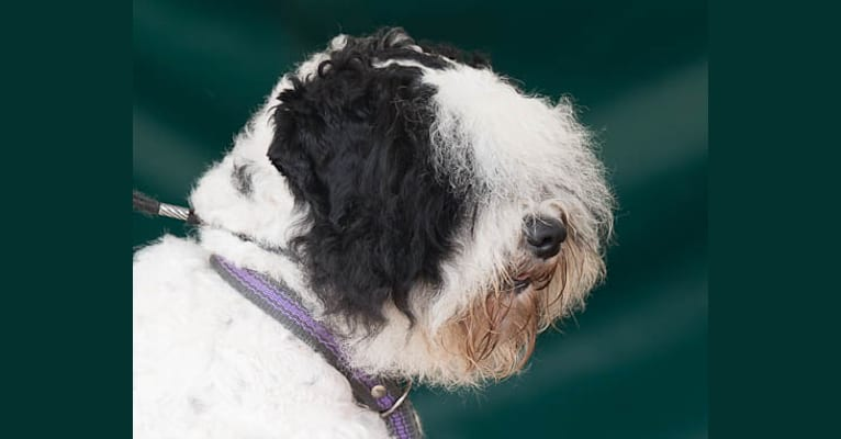 Photo of Leevi, a Lagotto Romagnolo and Portuguese Water Dog mix in Nederland