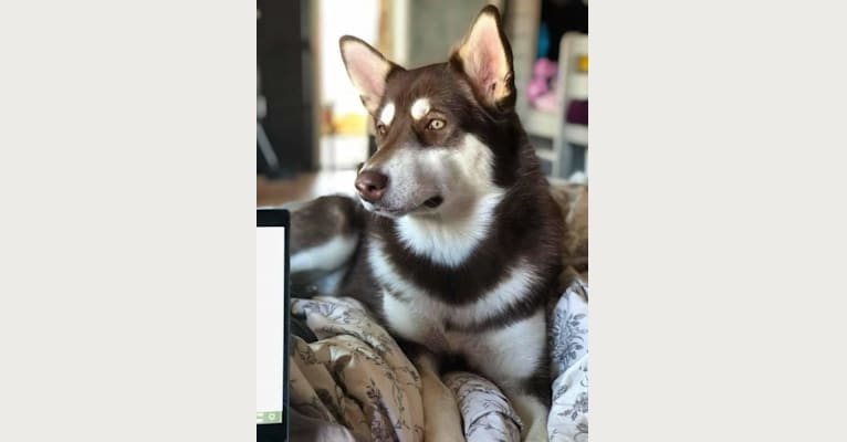 Photo of Suki, an Alaskan Malamute  in Massachusetts, USA
