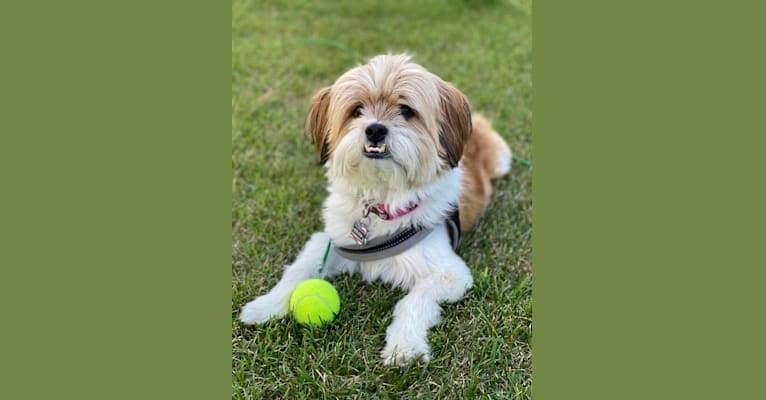 Photo of Sandy, a Southeast Asian Village Dog and Shih Tzu mix in Phuket, Thailand
