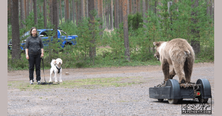 Photo of Jemma, a Poodle (Standard), Poodle (Small), and Labrador Retriever mix in Sipoo, Suomi