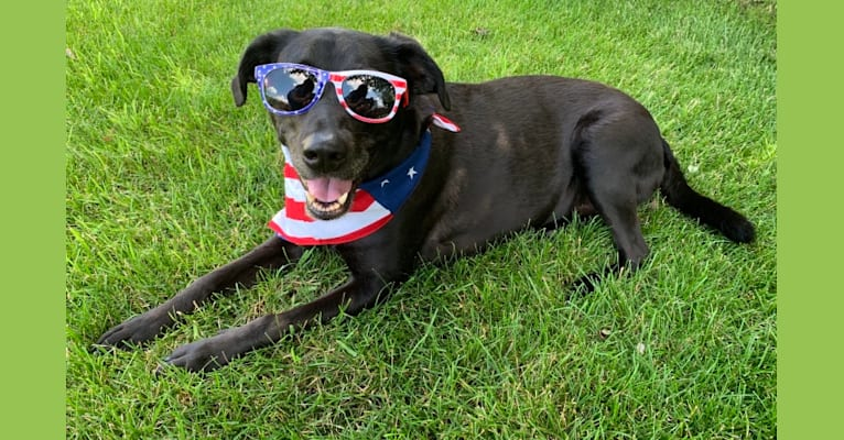 Photo of Madasyn, a Labrador Retriever, American Foxhound, American Pit Bull Terrier, and Mixed mix in Naperville, Illinois, USA