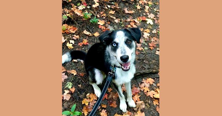 Photo of Rambo, a Siberian Husky, Rottweiler, German Shepherd Dog, and Mixed mix in Winnipeg, Manitoba, Canada