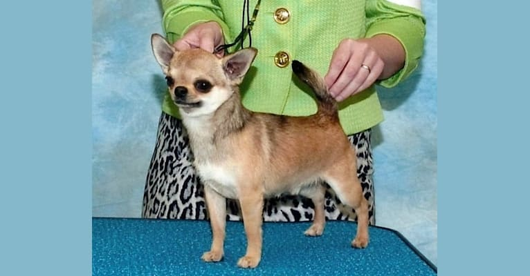 Photo of Max, a Chihuahua