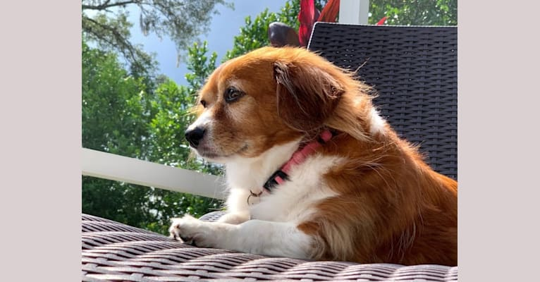 Photo of Ginger, a Chihuahua, Rat Terrier, Pekingese, Dachshund, and Mixed mix in Louisiana, USA