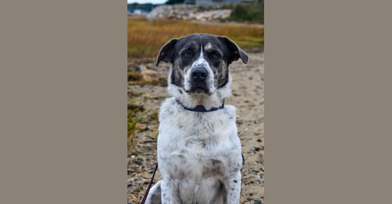Photo of Logan, a Labrador Retriever, Staffordshire Terrier, Chow Chow, Australian Shepherd, and Mixed mix in Plympton, Massachusetts, USA