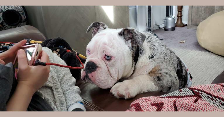 Photo of Buddy, an Olde English Bulldogge  in Texas, USA