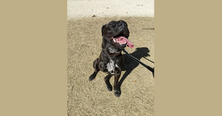 Photo of Andy, an American Pit Bull Terrier, Chow Chow, American Staffordshire Terrier, Boxer, and Mixed mix in Austin, Texas, USA
