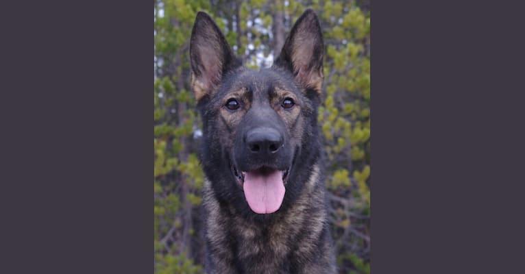 Photo of Meteora, a German Shepherd Dog