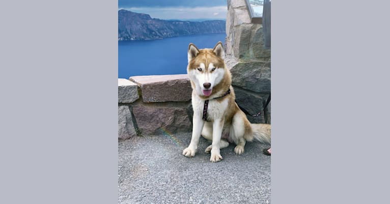 Photo of Captain, a Siberian Husky  in Central Point, Oregon, USA