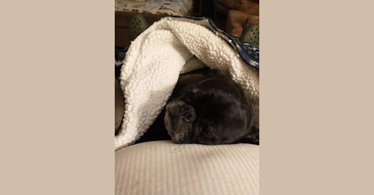 Photo of Princess Ebony, a Pug  in La Center, Washington, USA