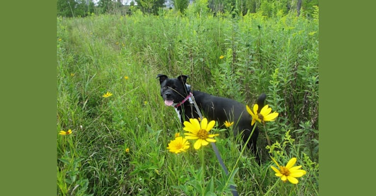 Photo of Shey, a German Shepherd Dog, American Pit Bull Terrier, Boxer, Bullmastiff, and Mixed mix in South Dakota, USA