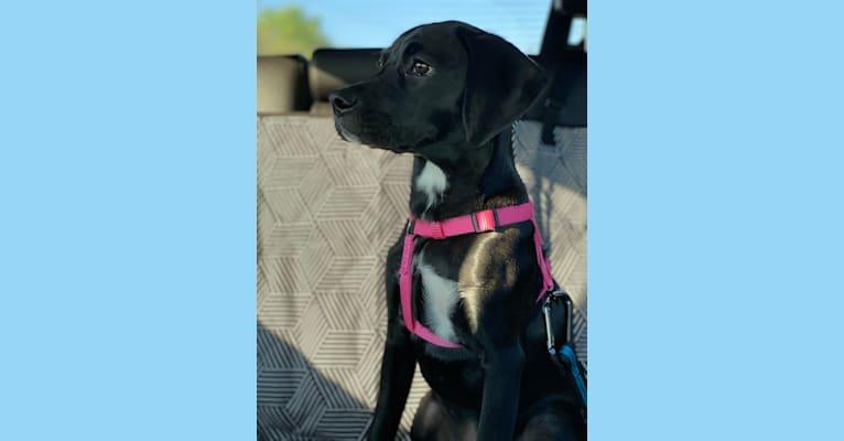 Photo of Scout, a Pointer, Boston Terrier, English Cocker Spaniel (Working Type), Boxer, and English Springer Spaniel mix in Decatur, Georgia, USA