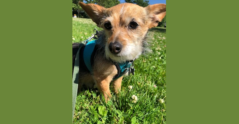 Photo of Izzie, a Chihuahua, Poodle (Small), Miniature Pinscher, and Mixed mix