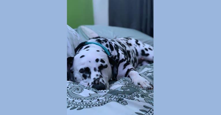 Photo of Maya, a Dalmatian  in Millersburg, OH, USA
