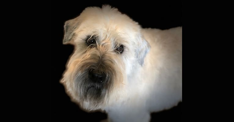 Photo of Morgan, a Soft Coated Wheaten Terrier  in Houston, TX, USA