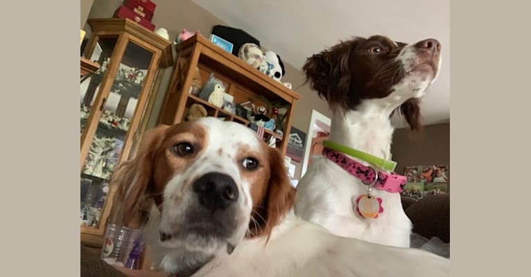 Photo of Scout, a Brittany and Llewellin Setter mix in New Jersey, USA