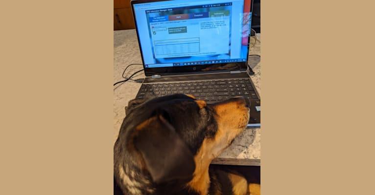 Photo of Marley, a German Shepherd Dog, Labrador Retriever, Golden Retriever, Weimaraner, and Mixed mix in Hillsboro, OH, USA