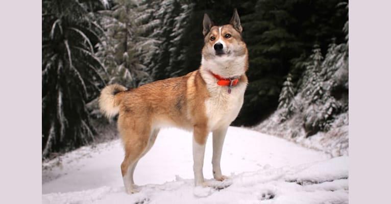 Photo of Naida, a West Siberian Laika  in Alaska, USA