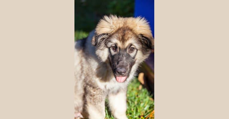 Photo of Forge, a German Shepherd Dog, Alaskan Malamute, and Irish Wolfhound mix in San Jose, California, USA