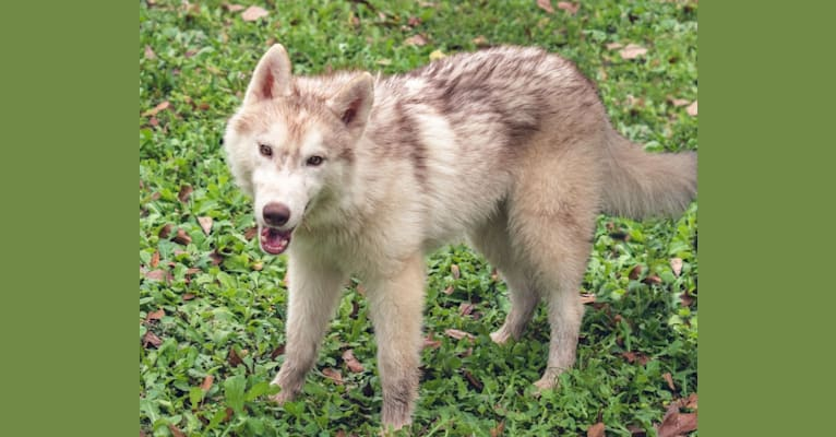 Photo of Wendy, a Siberian Husky