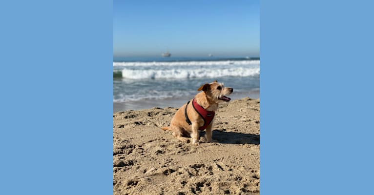 Photo of Hank, a Chihuahua, Poodle (Small), Pomeranian, Miniature Pinscher, and Mixed mix in Pasadena, CA, USA