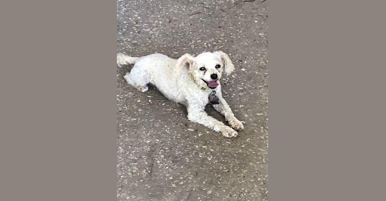Photo of Elliott, a Poodle (Small)  in 8177 Gum Street, Houma, LA, USA