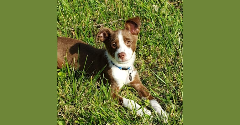 Photo of Flea, a Chihuahua, Russell-type Terrier, Poodle (Small), Australian Shepherd, and Mixed mix in Knoxville, Tennessee, USA