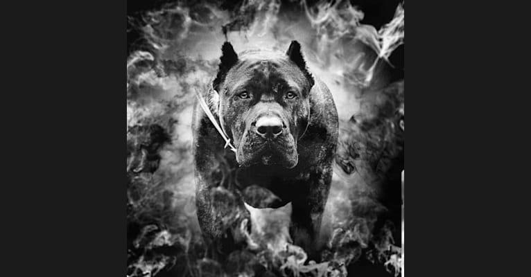Photo of Chuck, a Perro de Presa Canario  in Illinois, USA