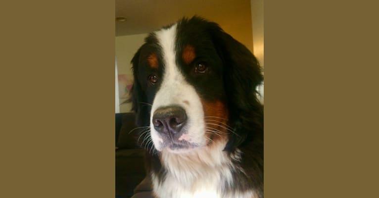 Photo of Emma, a Bernese Mountain Dog  in Sacramento, California, USA
