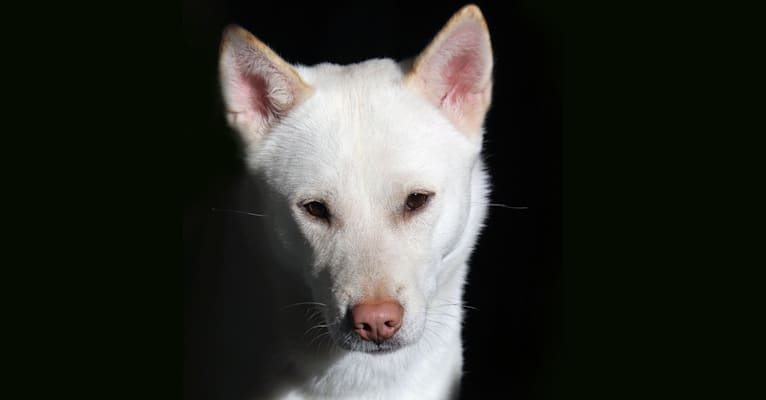Photo of Fionna, a Kishu Ken  in Providence, Rhode Island, USA